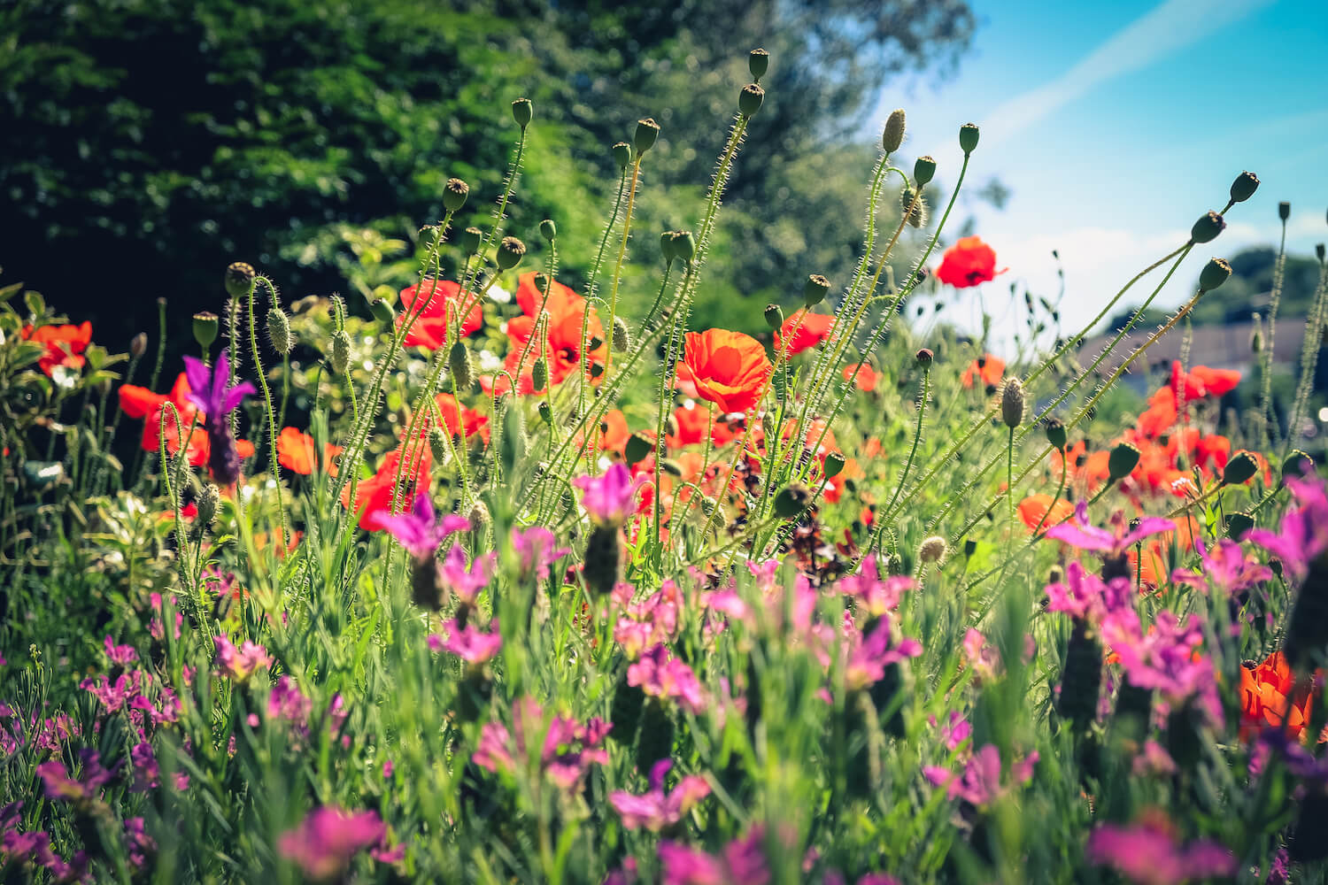 The Friends of Hednesford Park - Poppies